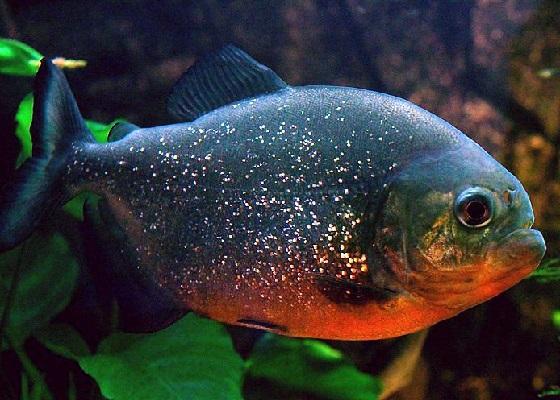 Serrasalmus nattereri в аквариуме