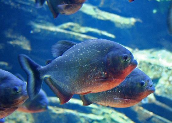 Пиранья в аквариуме