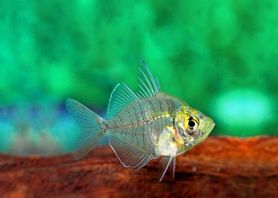 Аквариумная рыбка Окунь стеклянный