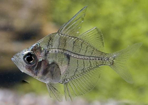 Окунь стеклянный в аквариуме