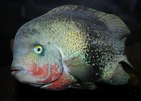 Paratheraps maculicauda