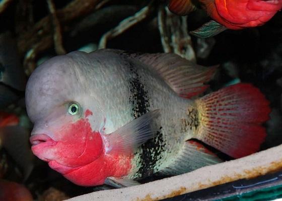 Цихлазома красногорлая - Paratheraps maculicauda