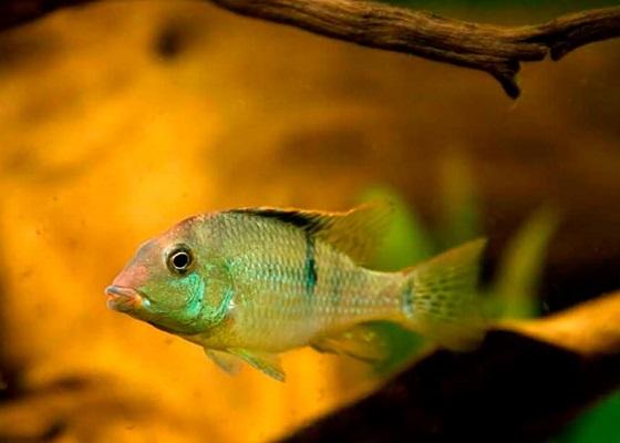 Geophagus steindachneri в аквариуме