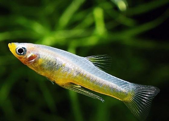 Girardinus falcatus