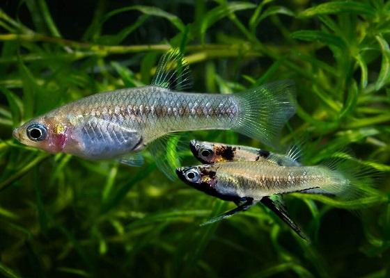 Гирардинус - Girardinus falcatus