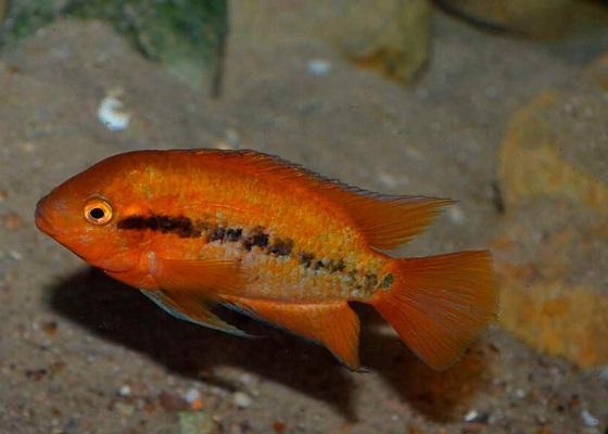 Геротиляпия мультиспиноза - Herotilapia multispinosa