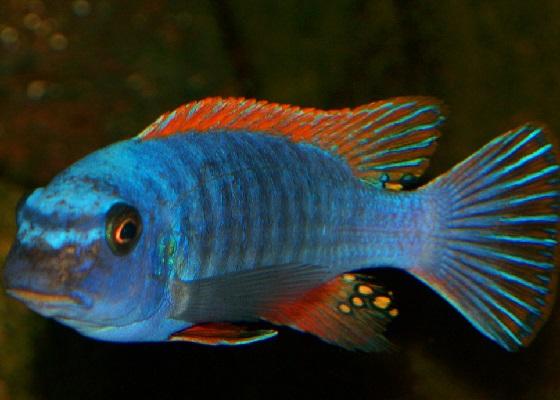 Лабеотрофеус Тревавас в аквариуме