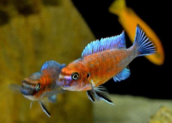 Labeotropheus trewavasae в аквариуме