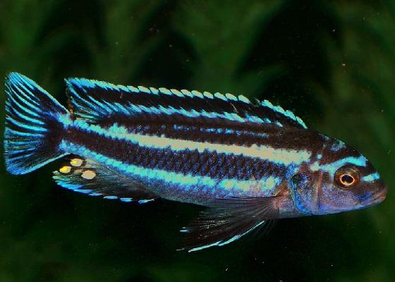 Меланохромис Йохани - Melanochromis johanni