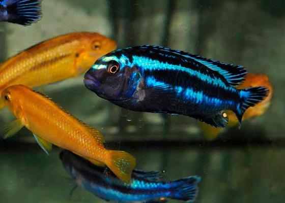 Меланохромис Йохани в аквариуме
