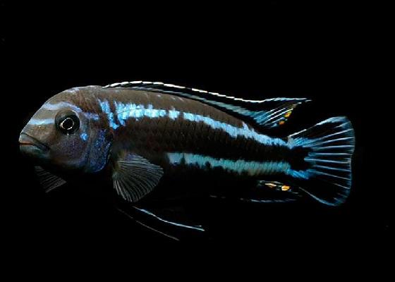 Melanochromis johanni в аквариуме