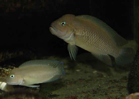 Тельматохромис темпоралис в аквариуме