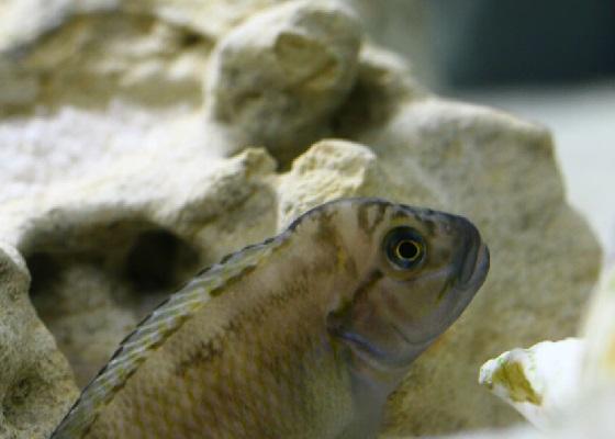 Telmatochromis temporalis в аквариуме