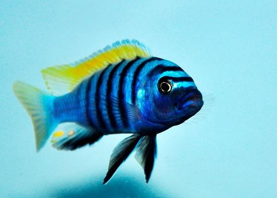 Цинотиляпия афра в аквариуме