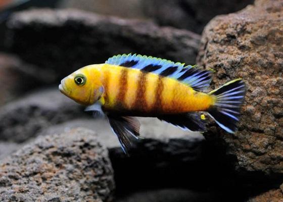 Cynotilapia afra в аквариуме