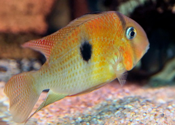 Акара голубая в аквариуме