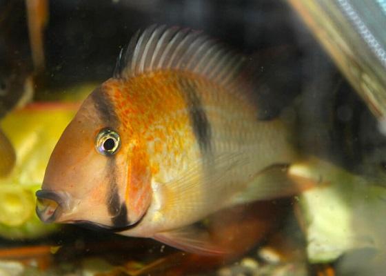 Guianacara owroewefi в аквариуме