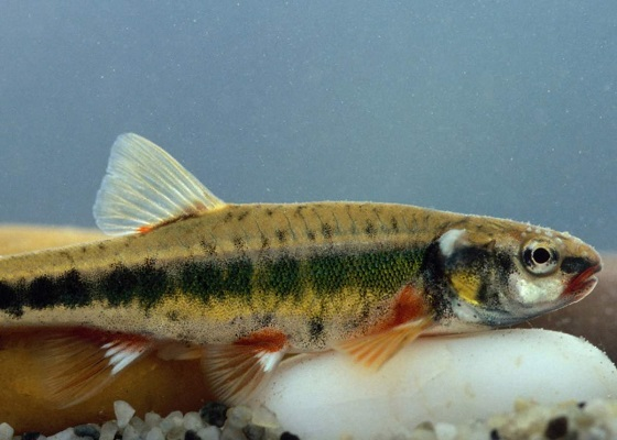Phoxinus pboxinus