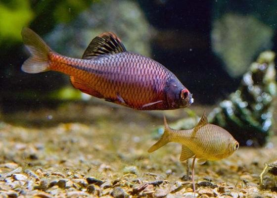 Рыбка Горчак в аквариуме