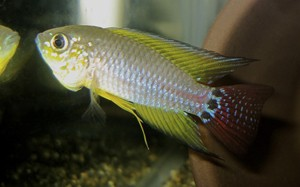 Апистограммоидес пукальпа