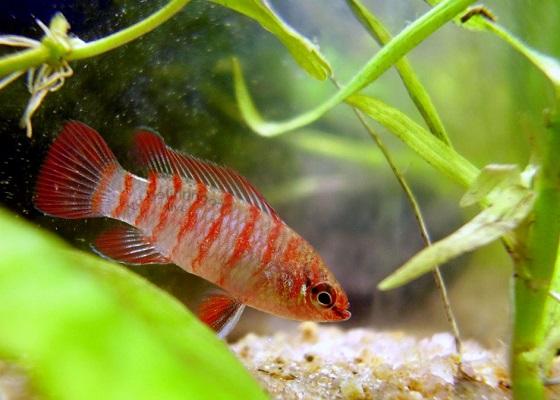 Аквариумная рыбка Бадис