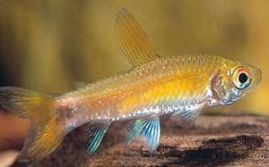 curimatopsis-evelynae