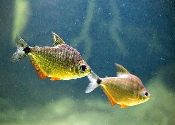 Рыбка монетка