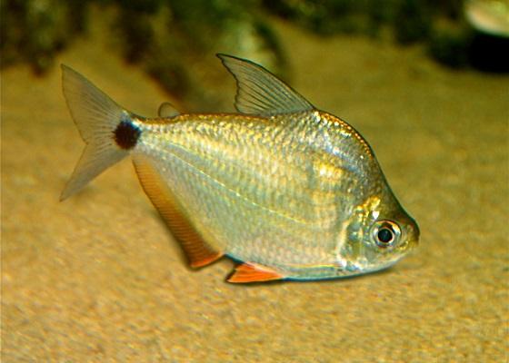 Рыбка монетка - Ctenobrycon spilurus