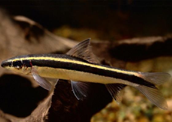 Epalzeorhynchos kallopterus