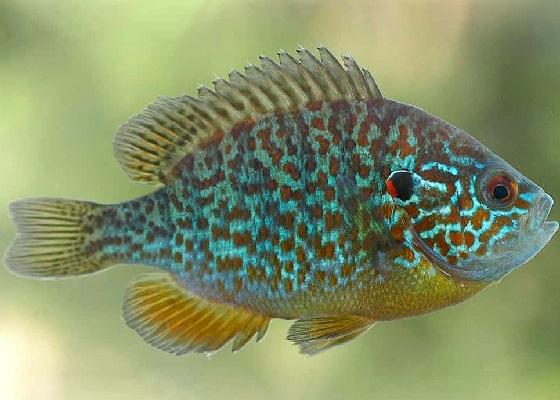 Рыба Окунь солнечный