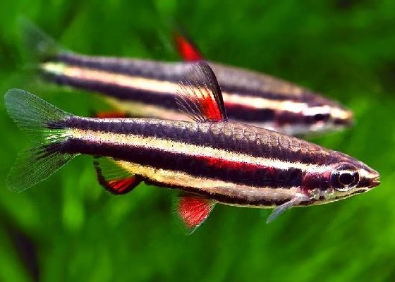 Нанностомус карликовый  - Nannostomus marginatus