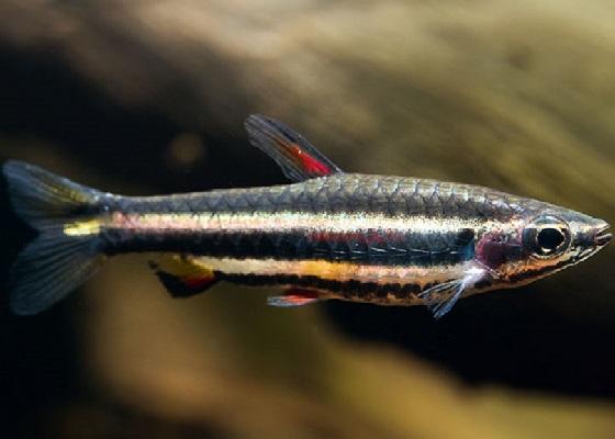 Нанностомус карликовый  в аквариуме