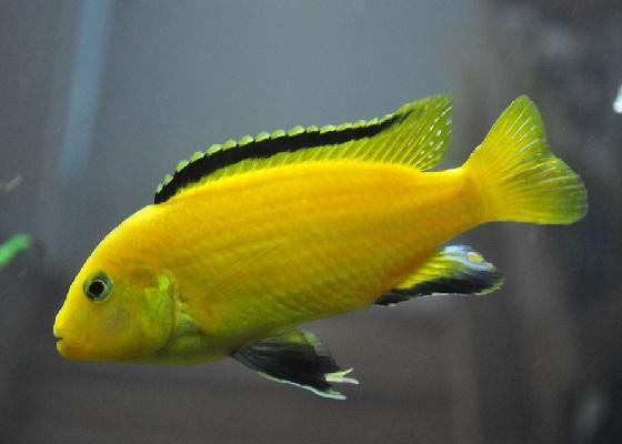Лабидохромис Еллоу - Labidochromis caeruleus Yellow