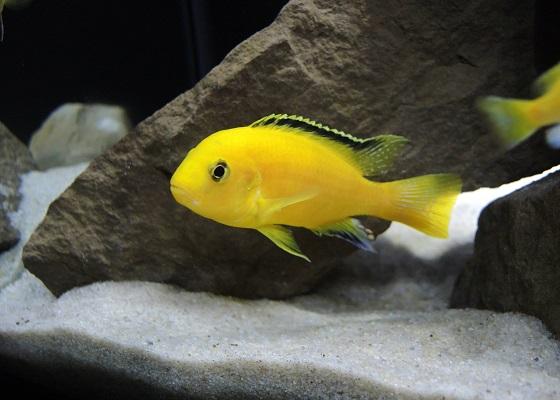 Лабидохромис желтый - Labidochromis caeruleus Yellow