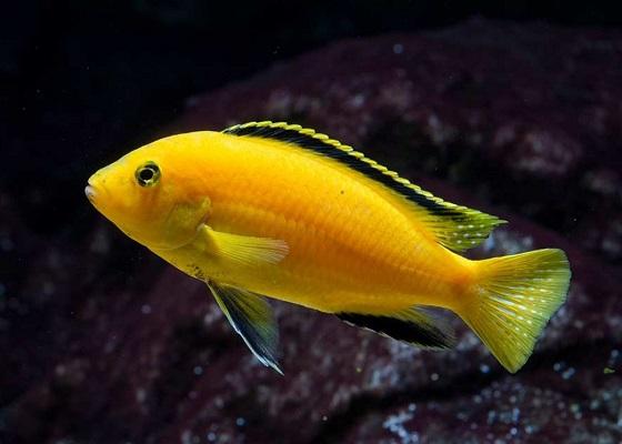 Лабидохромис желтый в аквариуме