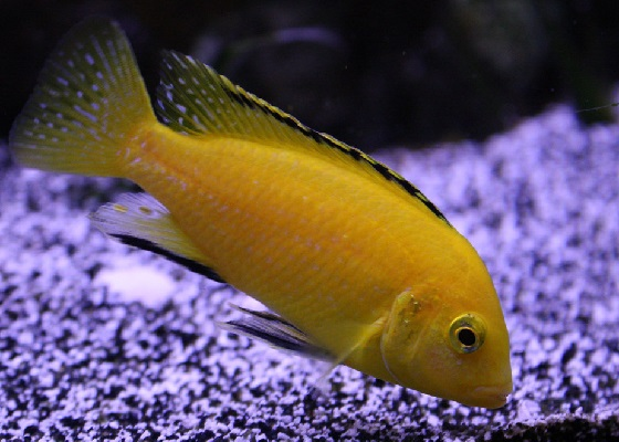 Labidochromis caeruleus Yellow в аквариуме