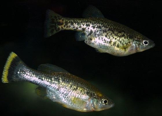 Рыбка Амека глянцевая