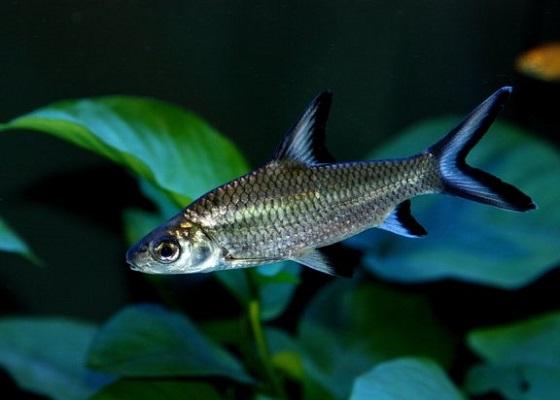Фото - Balantiocheilus melanopterus