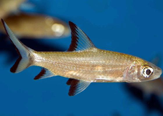 Акулий балу - Balantiocheilus melanopterus