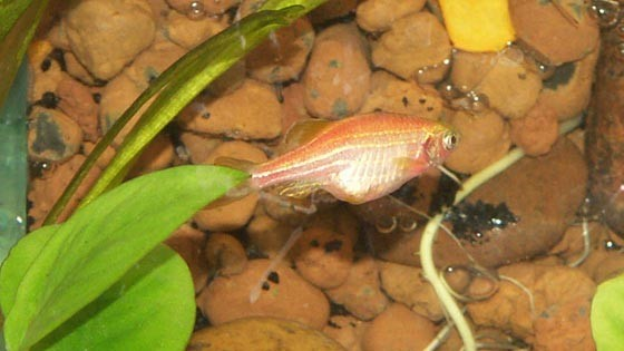 Ожирение внутренних органов у рыб
