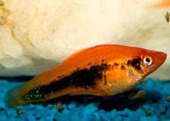 Воспаление желудочно-кишечного тракта у рыб