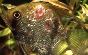 Язвенная болезнь у рыбок