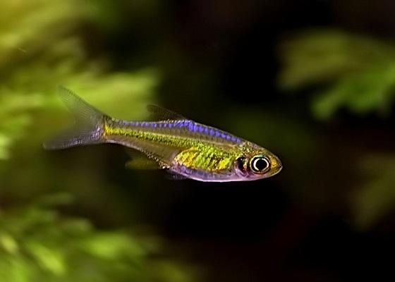 Microrasbora kubotai в аквариуме