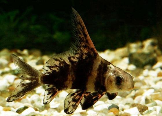 Фрегат рыба - Myxocyprinus asiaticus