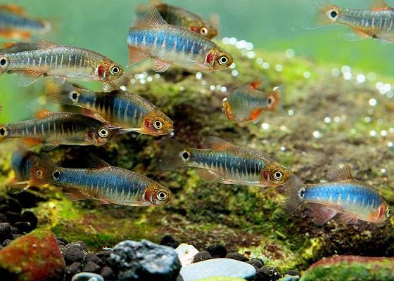 Микрорасбора эритромикрон в аквариуме