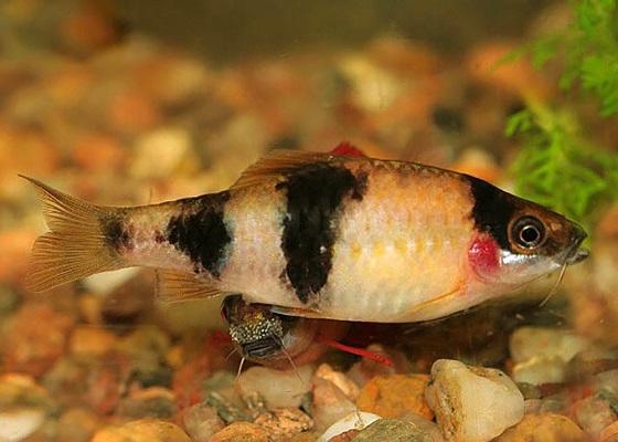 Puntius melanampyx