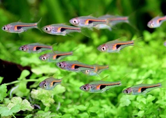Rasbora hengeli в аквариуме