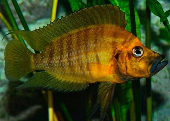 Altolamprologus compressiceps в аквариуме