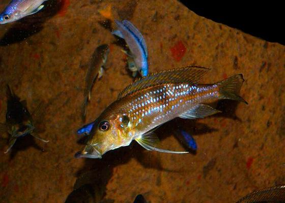 Гнатохромис верхнечелюстной - Gnathochromis permaxillaris