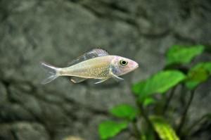 callochromis-stappersii